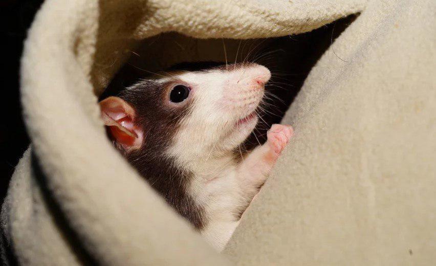 Выставка декоративных крыс состоится на востоке Москвы 30 ноября